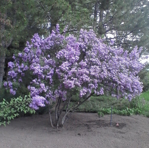 Chinese Purple Lilac