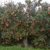 Hardy Apricot