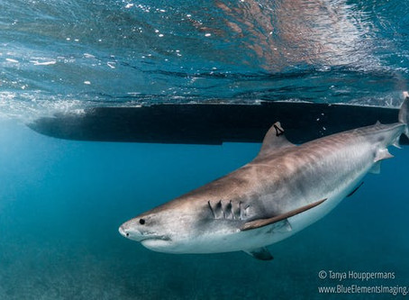 Scientists at Work: Uncovering The Mystery of When & Where Sharks Give Birth