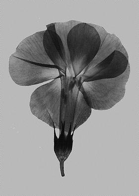 big_purple_flower_halftone_A4.jpg