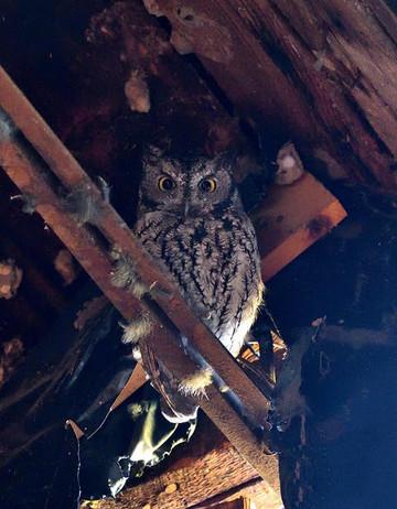 Screech Owl in the Horse Barn 1 [photo b