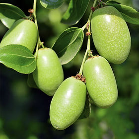 Jojoba-Golden-736.jpg