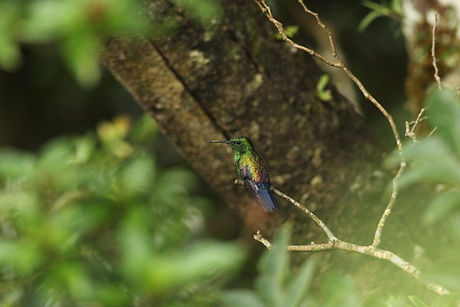Blue-vented-Hummingbird-is-the-species-m