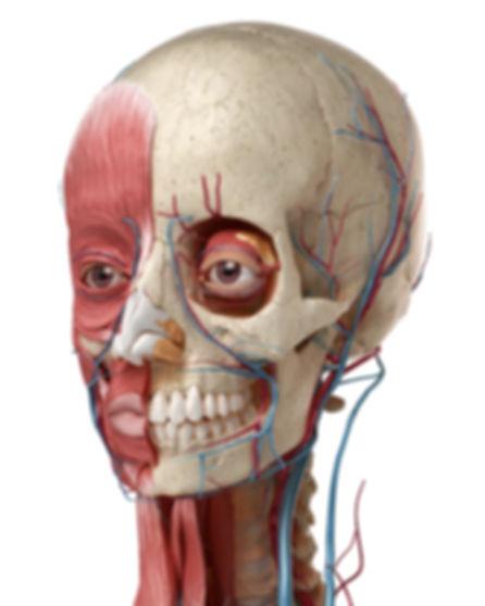 FACE anatomy CFMS Training 2