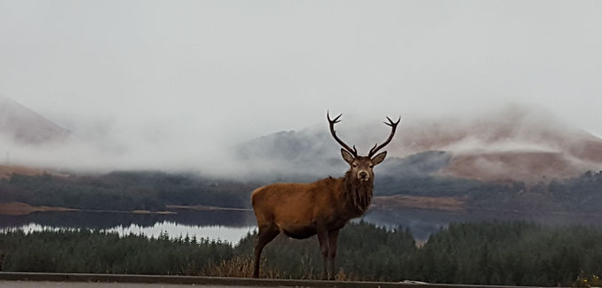 Red Stag near Bridge of Orchy, Argyll.