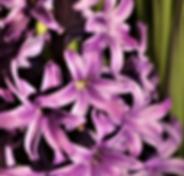 Сиреневый гиацинт