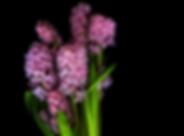 Ярко-розовый гиацинт