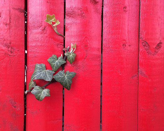 IVIED RED FENCE | PRINT