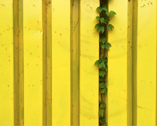 IVIED YELLOW FENCE | PRINT