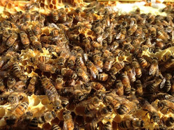 Beekeeping with Nana