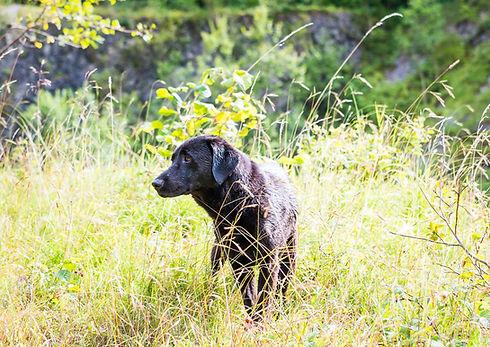 Black Labrador  D01L.jpg