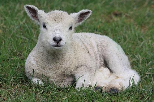 Sitting Lamb