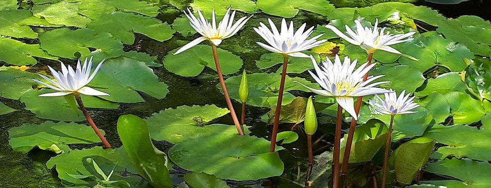 White Lotus Flowers (sm).jpg