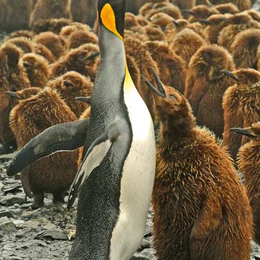 King Penguin & Chick