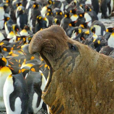Elephant Seal & King Penguins