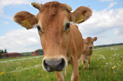 "Program ""A ta kráva mléko dává..."""