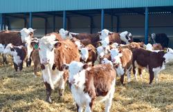 стадо коров герефордов