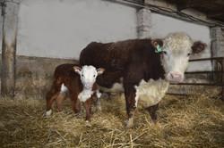 корова герефорд