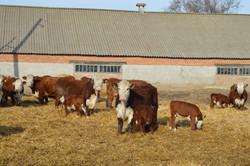 коровы с телятами