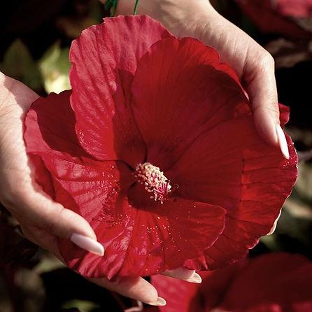 Hibiscus !.jpg