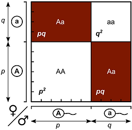 Hardy–Weinberg_law_-_Punnett_square.png