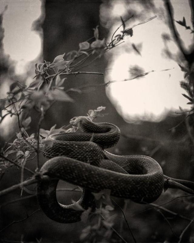 Snakes in a TREE #tree #ratsnake #fujifi