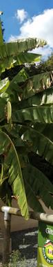 La Rocardière bananier