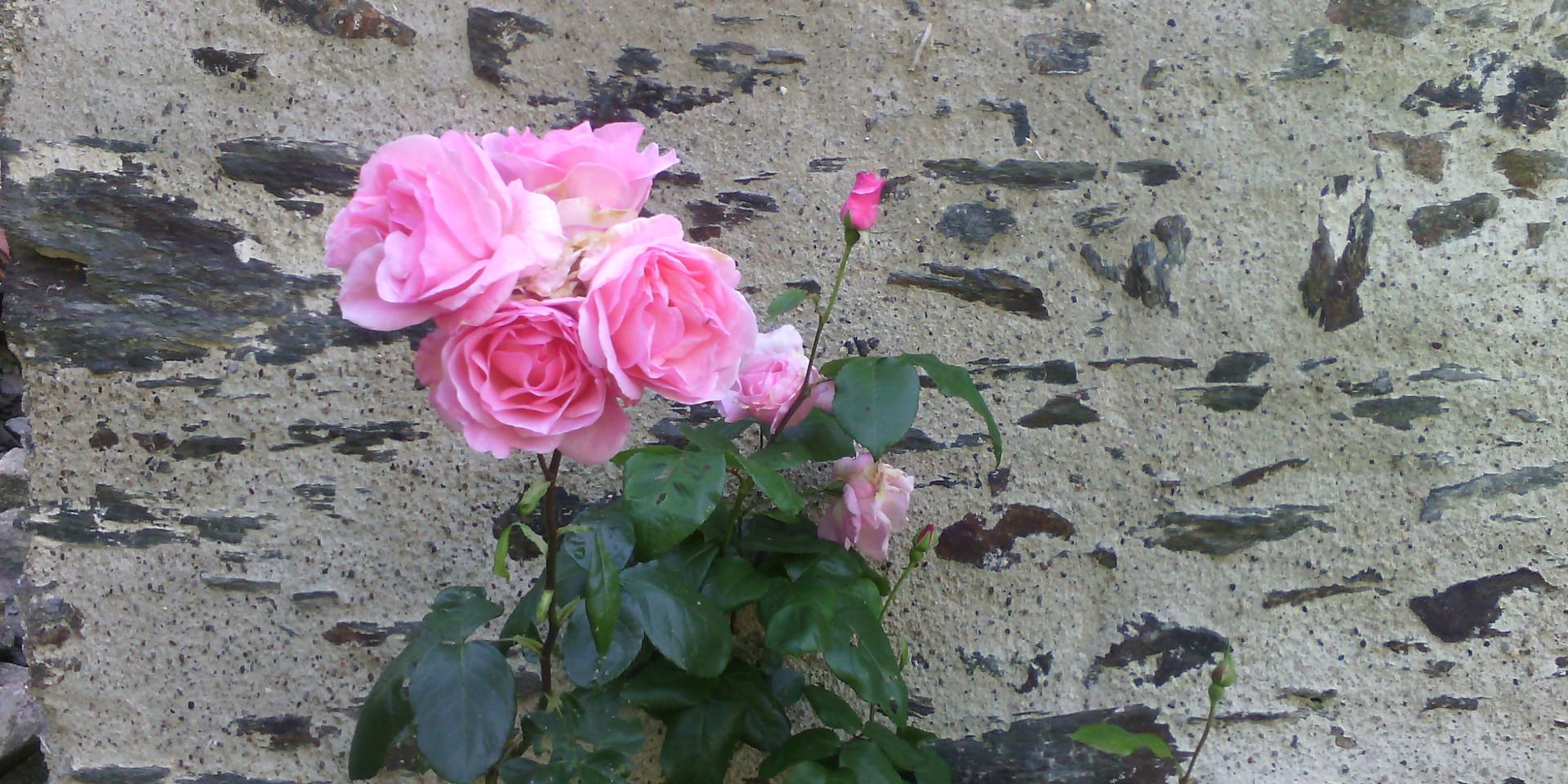 La Renardiere  rosier