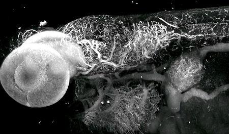 Zf larvae-clarification.jpg