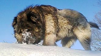 Caucasian Shepherd 2.jpg