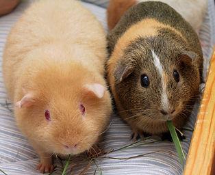 Guinea Pigs 2.jpg
