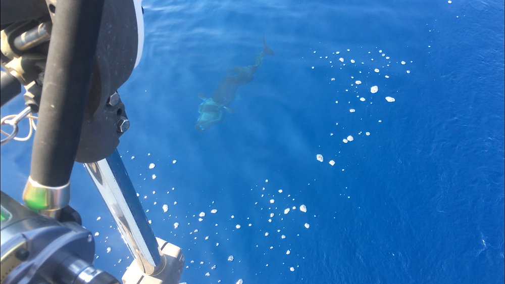 1.5 meter tuna chasing the stern of The Dream