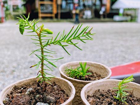 ご神木のお福分け《境内に芽生えた苗木をお譲りします》