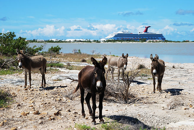 Local gang of wild donkeys with a cruise