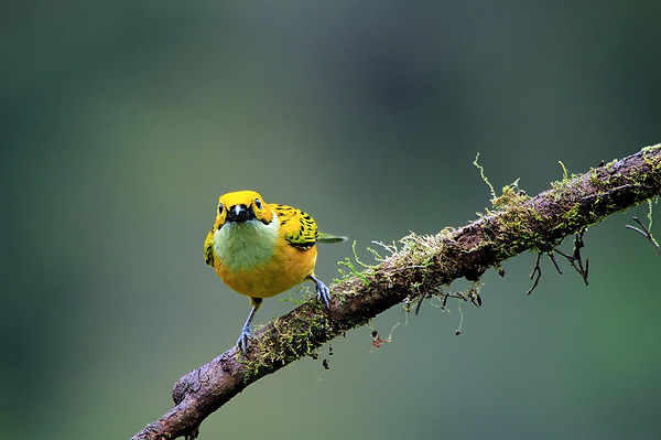 Silver-throated Tanager.jpg