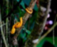 Eyelash Viper Yellow_900.jpg