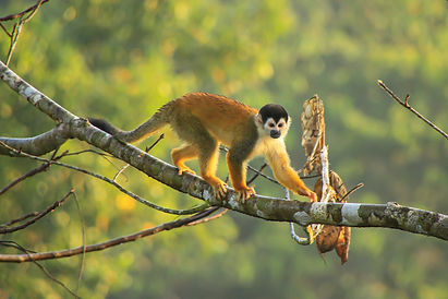 Squirrel Monkey.jpg