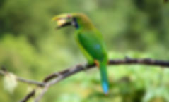 Emerald Toucanet.jpg