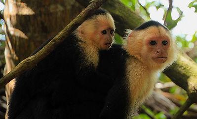 Capuchin Pair.jpg