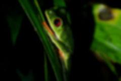 Red Eyed Leaf Frog 2.JPG