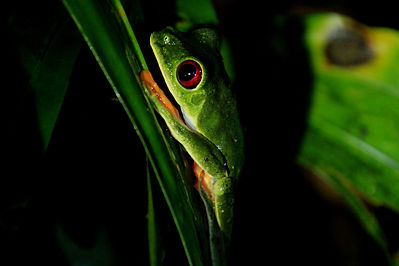 Red Eyed Leaf Frog 2.JPG