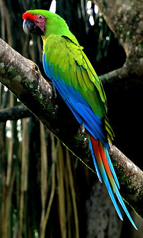 Macaw Single_edited.jpg