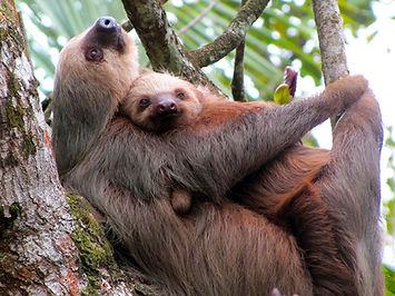 Mom and Baby Sloth_900.jpg