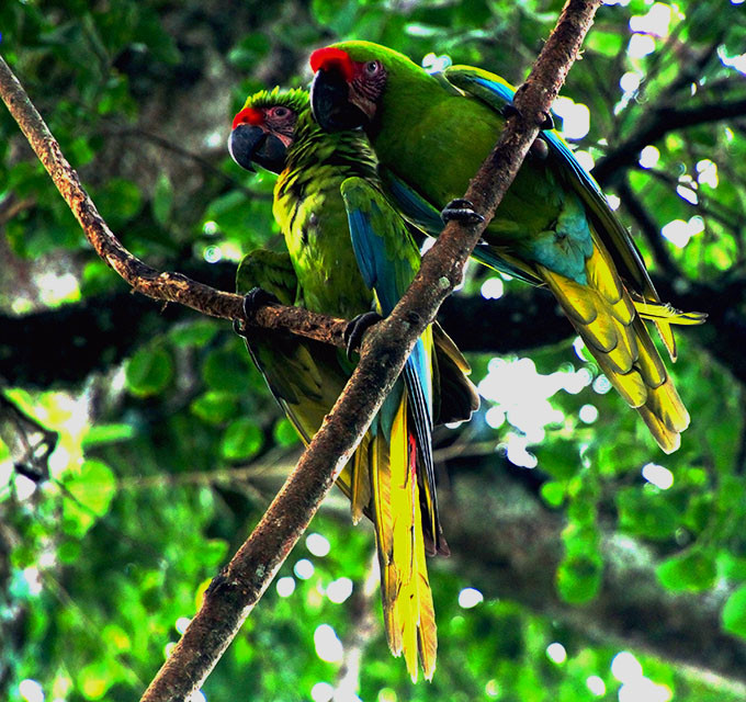 Great Green Macaw Pair