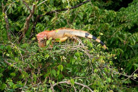 iguana-nov17.jpg