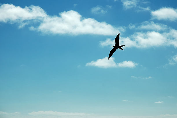 Silhouette of Frigate bird flying in the