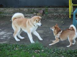 Yasei e Yoko