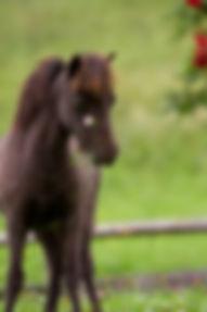 Miniaturehorse