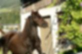 Miniaturpferd
