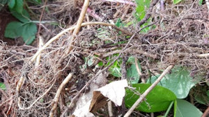 Shady invaders - few-flowered garlic and ground elder
